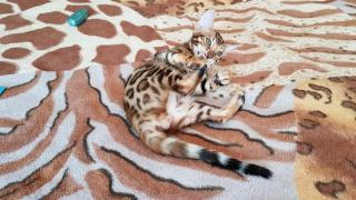 Bengal cat to buy Kharkov