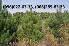 Wholesale real Christmas trees from forestry